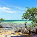 Florida Keys Mangrove Reef by Oscar Blasingame