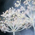 Flowering Dill Clusters by Elena Elisseeva