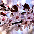 Flowering Plum by Richard Lynch