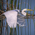 Flying Egret by Tom Claud