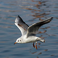 Flying Gull by Michal Boubin