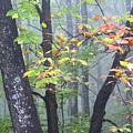 Foggy Fall Forest by Thomas R Fletcher