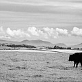 Free Range Beef Cattle On Open Farmland Anglesey North Wales Uk by Joe Fox