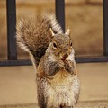 French Fry Eating Squirrel by Merle Grenz