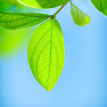 Fresh Green Leaves by Anna Om