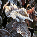 Frost-lined by Frank Townsley