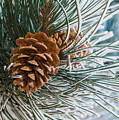 Frosty Pine Needles And Pine Cones by Dawn Key