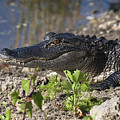 Gator Smile by Sally Weigand