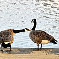 Geese by FL collection