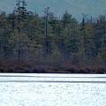 Geese On Labrador Pond by David Lane