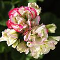 Geranium Flowers by Joy Watson