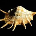 Giant Spider Conch Seashell Lambis Truncata by Frank Wilson