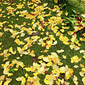 Ginkgo Biloba Leaves by Gaspar Avila