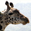 Giraffe by Diane Barone