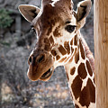 Giraffe Head by Jennifer Mitchell