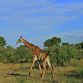 Giraffe by Richard Krebs
