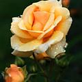 Glowing Rose by Edward Sobuta