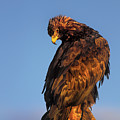 Golden Eagle Aquila Chrysaetos Captive Colorado by Dave Welling