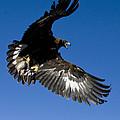 Golden Eagle by Jean-Louis Klein & Marie-Luce Hubert