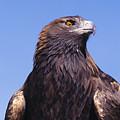 Golden Eagle by John Hyde - Printscapes