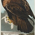 Golden Eagle by John James