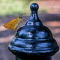 Golden Moth by Ray Shiu