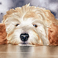 Goldendoodle  by David Rogers