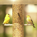 Goldfinch by Diane Schuler