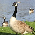 Goose by FL collection
