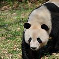 Gorgeous Black And White Giant Panda Bear Walking by DejaVu Designs
