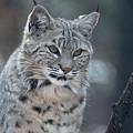 Gorgeous Bobcat's Face Up Close by DejaVu Designs