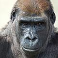 Gorilla 1 by DiDi Higginbotham