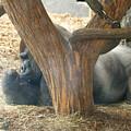 Gorilla by Steven Sloan