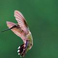 Grace Of A Hummingbird by Jeff Swan