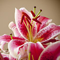 Graceful Lily Series 14 by Olga Smith