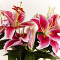 Graceful Lily Series 9 by Olga Smith