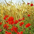 Grain And Poppy Field by Elena Elisseeva