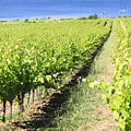 Grapevines In A Vineyard by Vladi Alon