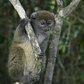 Gray Bamboo Lemur by Michele Burgess