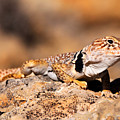Great Basin Collared Lizard by Gary Whitton