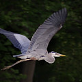 Great Blue Heron In Flight by Brian Wallace