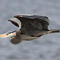 Great Blue Heron by Loriannah Hespe