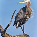 Great Blue Heron by Marcia Colelli
