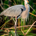 Great Blue Heron by Matt Suess