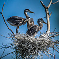Great Blue Heron On Nest by Ronald Grogan