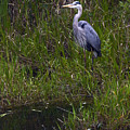 Great Blue Heron by Sally Weigand
