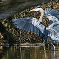 Great Blue Heron by Susan Grube