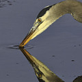 Great Blue Heron by Tim Hauf