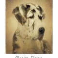 Great Dane Poster 2 by Tim Wemple