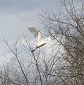 Great Egret by Amie Phillips